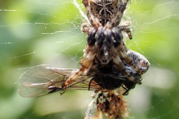 ゴミグモの巣に獲物あり
