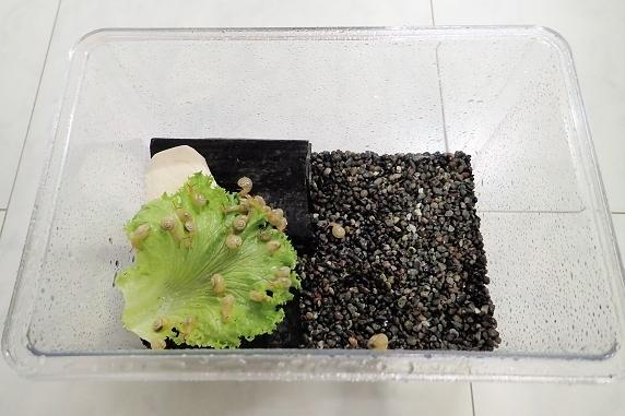 カタツムリの赤ちゃんを中型飼育ケースに移動