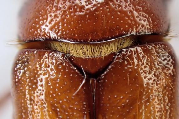 ナガチャコガネの交尾