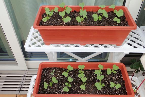 四季なりイチゴの収穫とベランダ菜園実況
