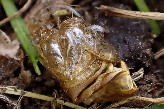羽化直後のムラサキイラガ