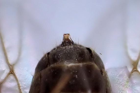 トビイロケアリのオスアリか?