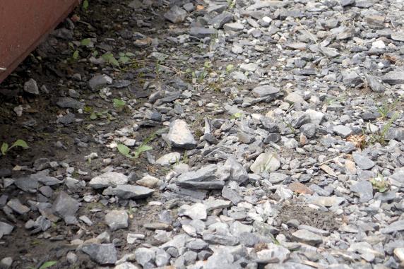 地面で吸水するツバメシジミ