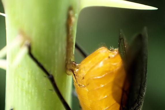 産卵中のアカスジチュウレンジ