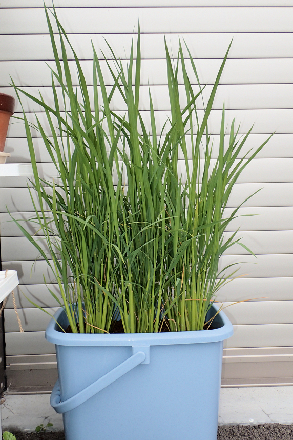 バケツ稲に中干しを実施