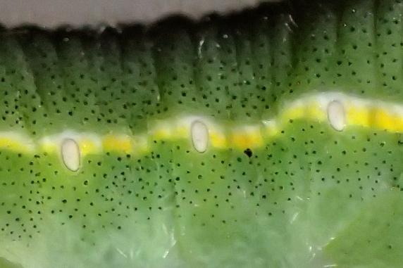 エダマメからキチョウの幼虫を確保