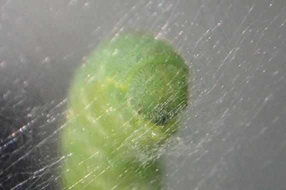 キチョウの幼虫がサナギに