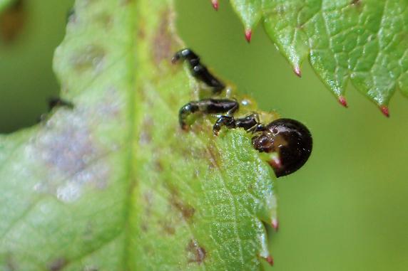 アカスジチュウレンジの幼虫誕生