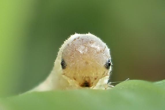 ハバチの白い幼虫