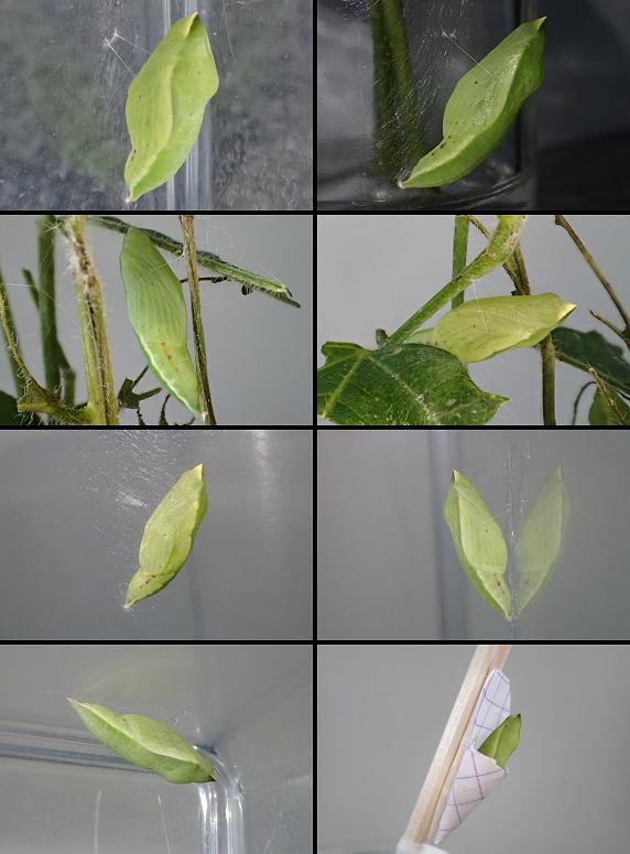 キチョウの幼虫8匹が全数蛹化