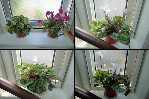 夏眠どころか花が咲いたミニシクラメン