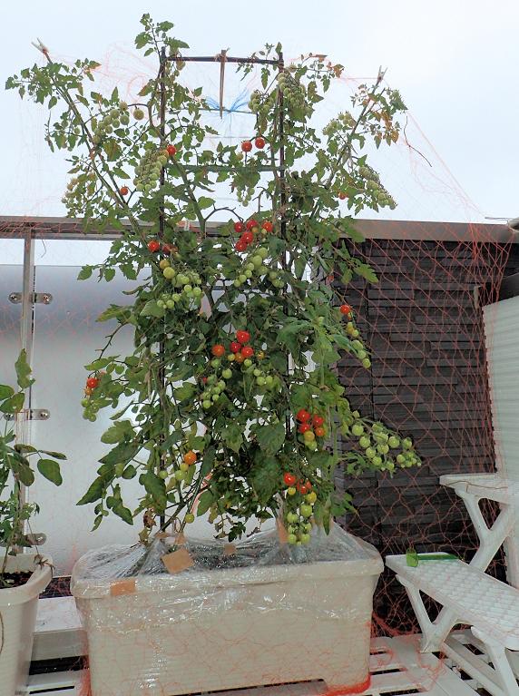 ミニトマトに鳥襲来!