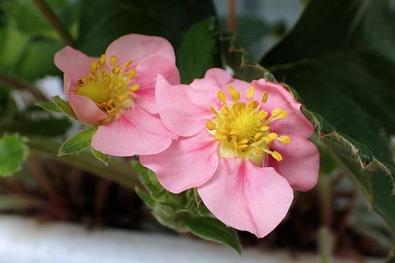 四季なりイチゴに花が咲く