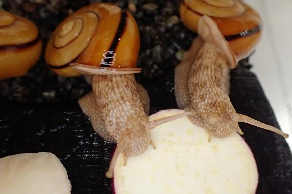 サツマイモを食べるカタツムリ その1