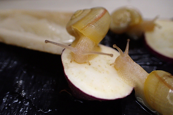 サツマイモを食べるカタツムリ その3