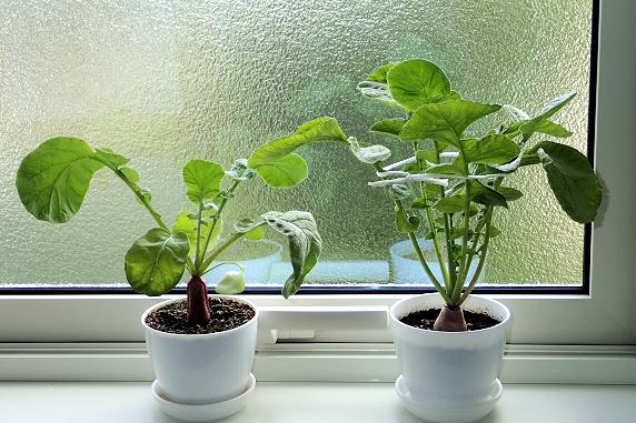 室内栽培はつか大根のその後