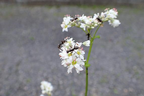 3つのアサガオ開花中