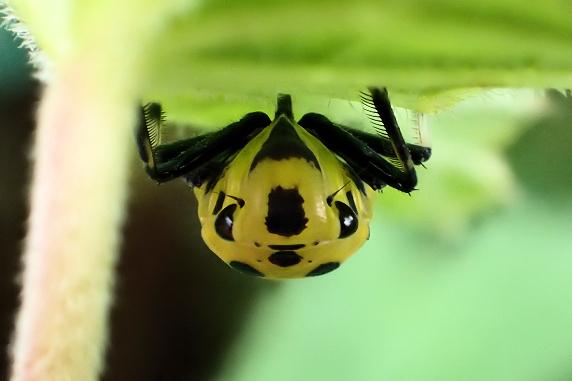 ツマグロオオヨコバイも成虫の季節