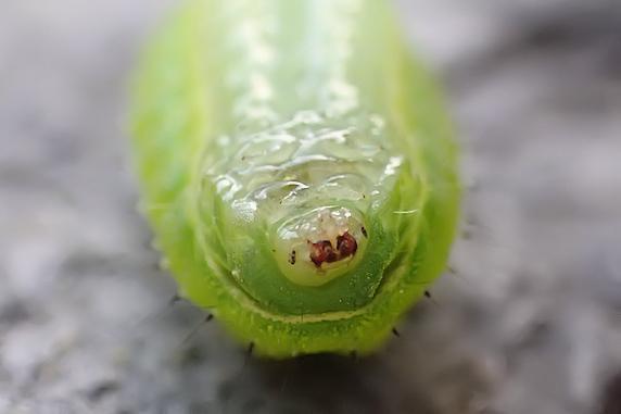 毒針危険!ウスムラサキイラガの幼虫