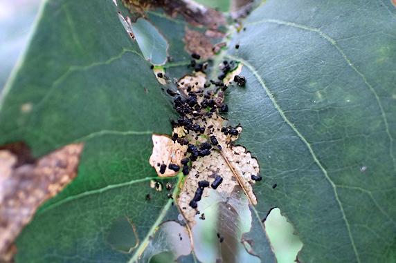 ライラックにマエアカスカシノメイガの幼虫発生
