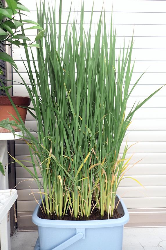 生長中のバケツ稲