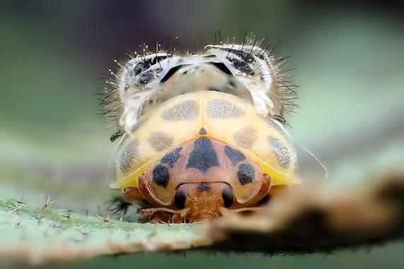 ニジュウヤホシテントウの羽化