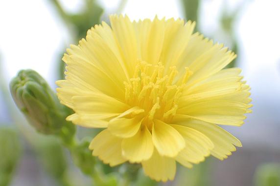 ミックスレタスに花が咲く