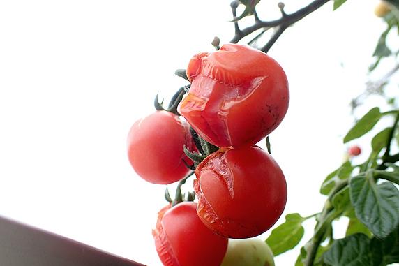ミニトマトに大量の裂果発生