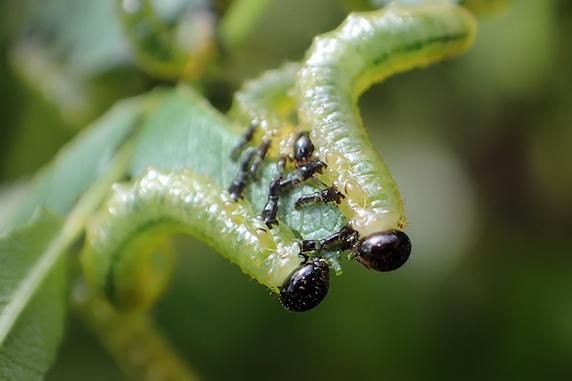 成長競争のアカスジチュウレンジの幼虫