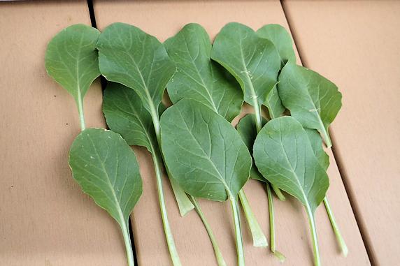 小松菜の収穫
