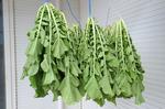 方領大根の干し葉にヨトウムシ発見