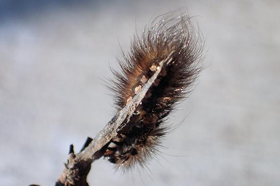 アカハラゴマダラヒトリの幼虫