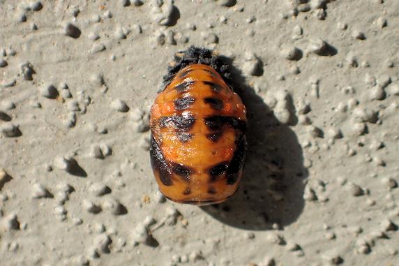 ナナホシテントウの前蛹か