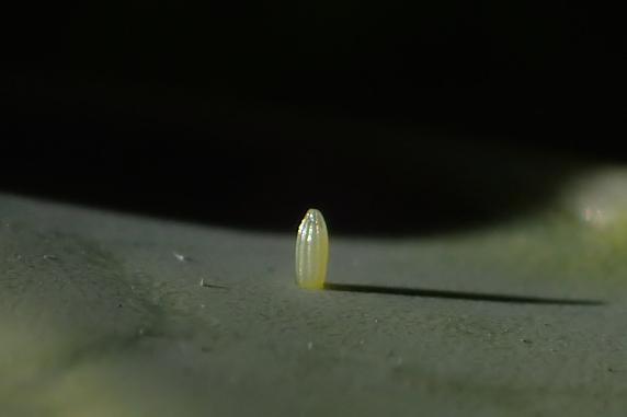 チョウの卵