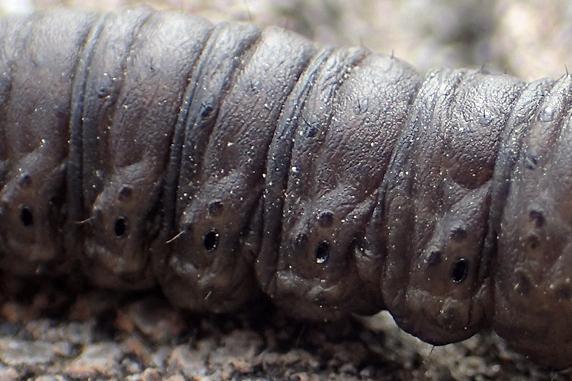 カブラヤガの幼虫登場