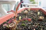 葉大根の収穫