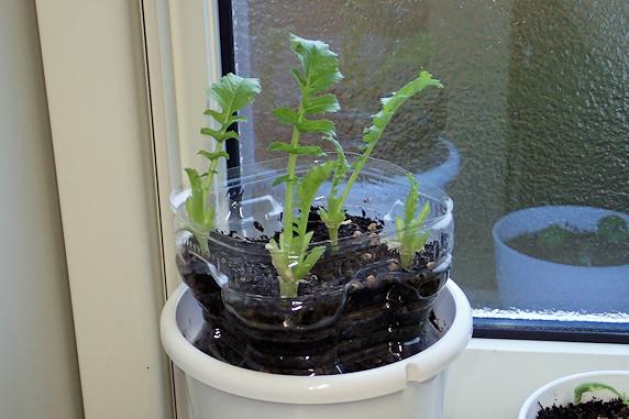 窓際の葉大根を食べるの巻