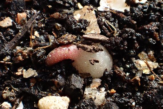 ミニシクラメンの発芽