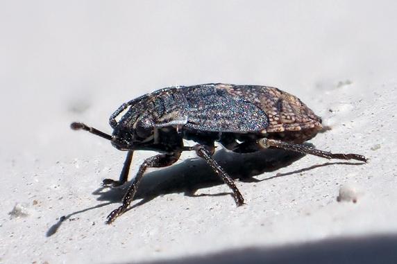 体長2mmの黒い虫