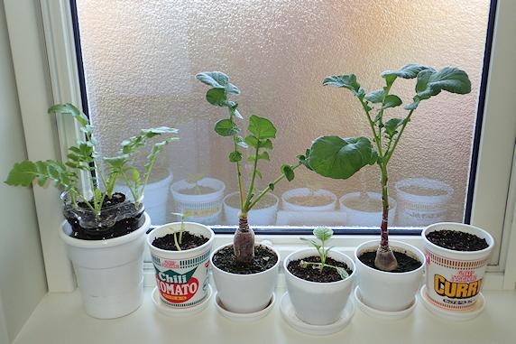 第二の柿が発芽