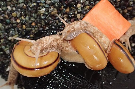 カタツムリにベランダ菜園のニンジンをあげた Part2