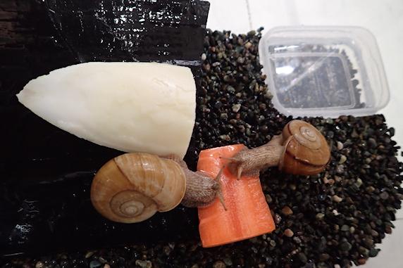 カタツムリにベランダ菜園のニンジンをあげた Part3