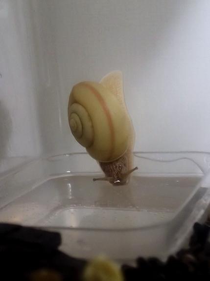 水を飲むカタツムリ