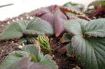 春を待つネギとイチゴ