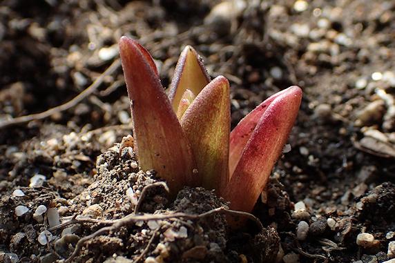 野原風花壇のオニユリ発芽