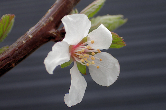 ユスラウメ咲き始め