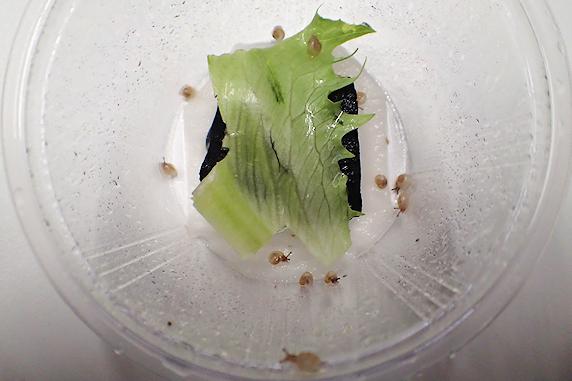 カタツムリの赤ちゃん13匹