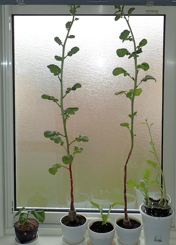 窓際栽培はつか大根に花が咲く