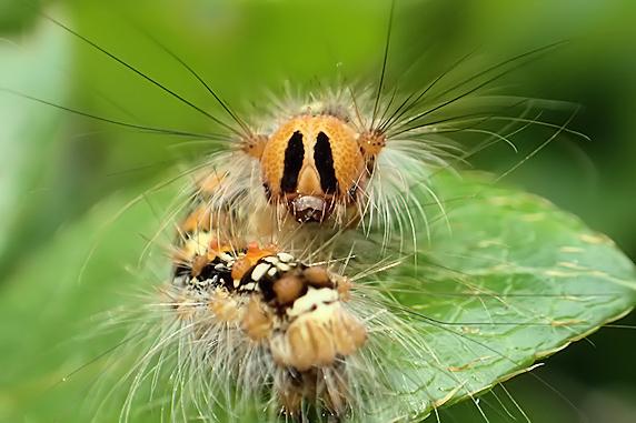 マイマイガの3齢幼虫