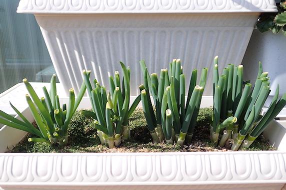 ネギ坊主開花